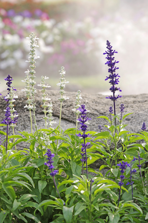 white salvia: violet and white salvia flower in the garden