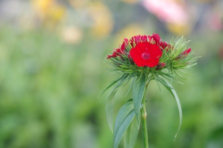 Sweet william flower in the garden photo