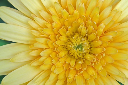 yellow Gerbera flower close up photo