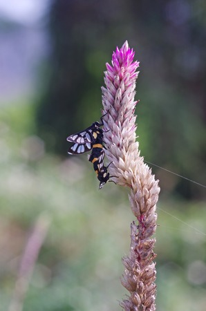 wasp moths are mating on the weed flowers Stock Photo