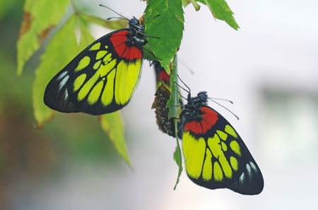 butterflies resting after emerge from the exuvia case Stock Photo