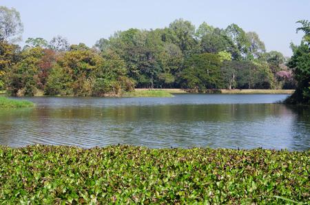 water hyacinth: water hyacinth in the reservoir