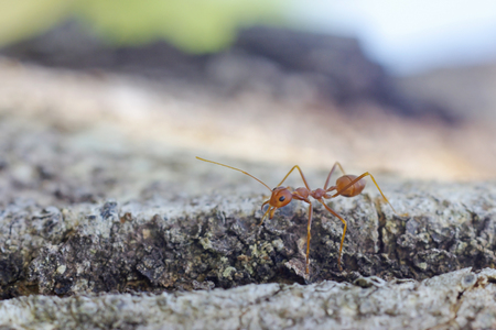 mutualism: weaver ant is walking on the tree branch