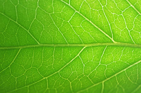greem: close up to the vein of the green leaf
