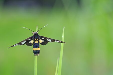 wasp moth on the grass tip photo