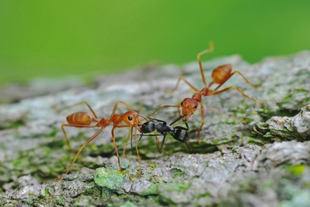 attacking: weaver ants are attacking black ant