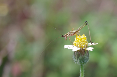 young long-horn grasshopper is going to walk on the daisy flower