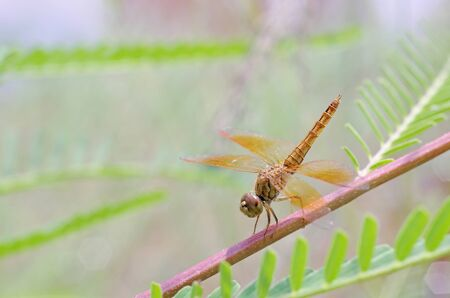 dragonfly is staying on the mimosa branch