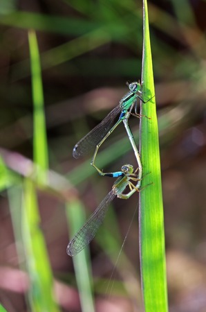 damselflies are mating on the grass shoot Stock Photo