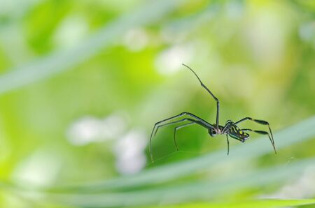 web side: Golden silk orb-weaver spider is staying on their web; side view