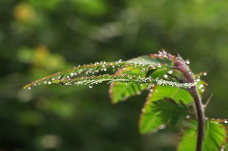 dew droplets on the mimosa shoot