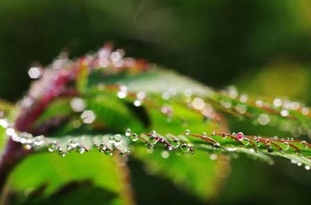 fresh dew drops on the mimosa leaf