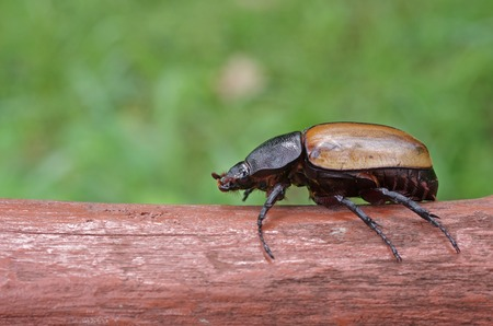 female Five Horned Beetle is staying on the log
