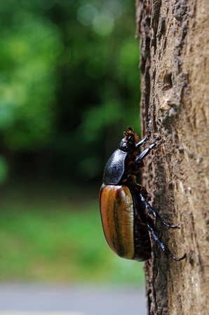 female Five Horned Beetle is climbing a tree