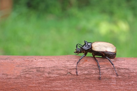 Five Horned Beetle is standing on the log