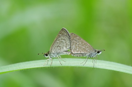 skipper butterflies is mating on the grass leaf