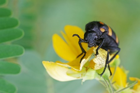 blister beetle is eating the yellow flower