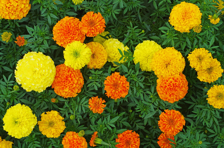 Top view of orange and yellow colored marigold flowers Stock Photo