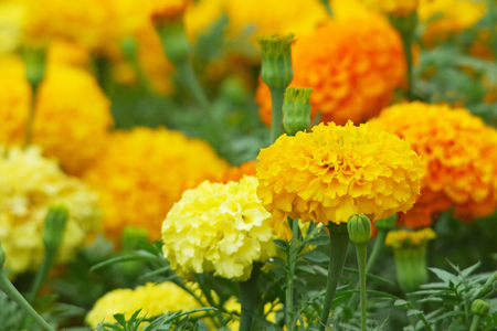 Orange and yellow colored marigold flowers and buds in the garden Stock Photo