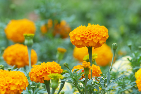Marigold flowers and buds in the garden; side view Stock Photo