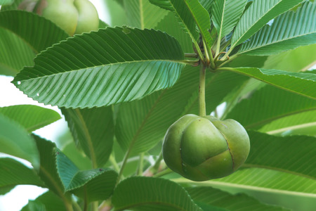 Chulta or elephant apple fruit on the tree
