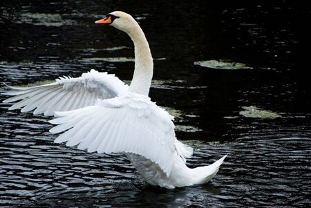 flapping: white swan  Stock Photo