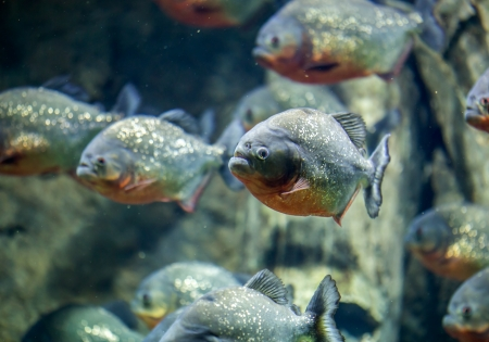 Piranha Tank photo