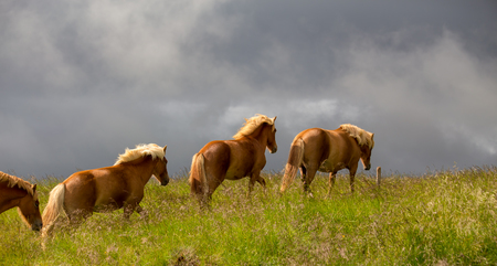 Group of Icelandic horses with yellow manes on a free pasture. Summer in Iceland