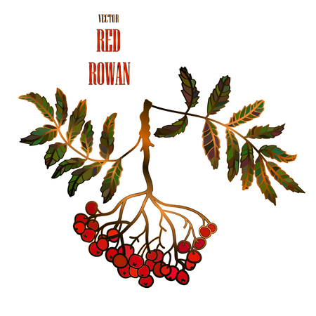 Vector vintage illustration with a red rowan Illustration