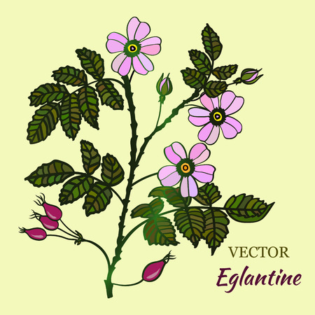 Vector illustration with eglantine roses. Vector briar card for your design