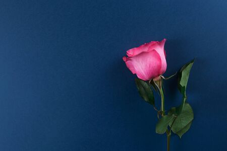 Pink rose on a dark blue background. Empty text space