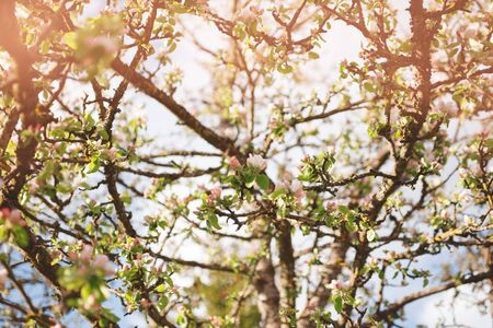 Blooming apple tree with pink flowers. Low angle shot. Soft selective focus. Beautiful spring or summer background.