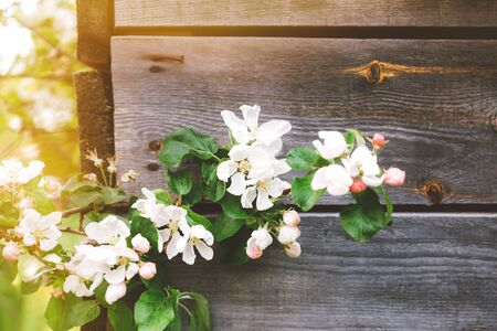 Nature background with branch of blooming apple tree in front of old wooden country house wall. White and pink flowers. Close-up. Soft selective focus. Banco de Imagens