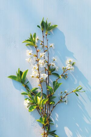 Cherry tree bouquet on blue wooden background. White flowers. Hard light. Top view. Soft selective focus.