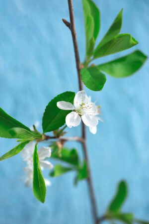 Cherry tree branch in full bloom on blue background. Closeup. Soft selective focus Banco de Imagens