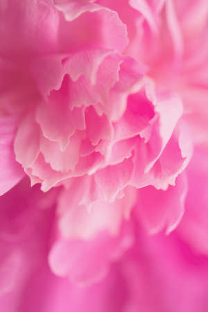 Floral vertical background. Macro shot of pink peony. Close-up. Soft selective focus.