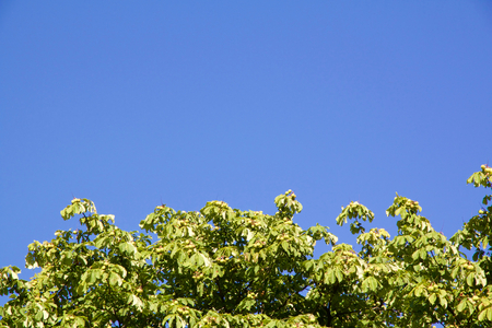 buckeye tree: Close-up view on chestnut tree with copy-space against a blue sky Stock Photo