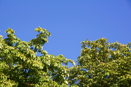 Close-up view on chestnut tree with copy-space against a blue sky Stock Photo