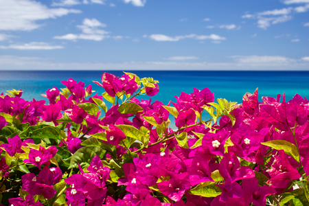 Bougainvillea in front of the sea and the blue sky