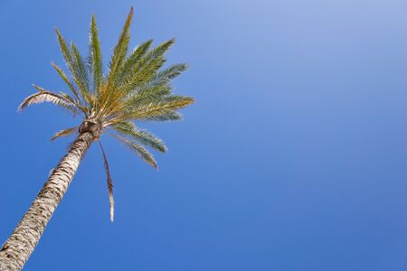 Isolated date palm tree against blue sky with copyspace for text for example as background for a postcard