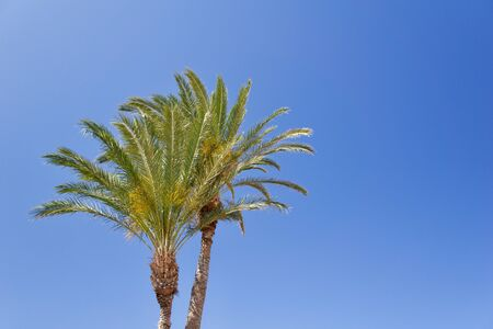 Two isolated date palm trees against blue sky with copyspace for text for example as background for a postcard