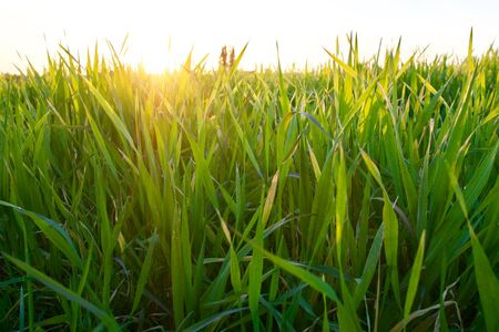Grass on the field during sunset. Agricultural landscape in the summer time