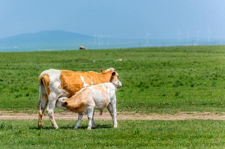 nurturing: nurturing cow Stock Photo