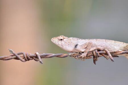 Lizard on metal rod