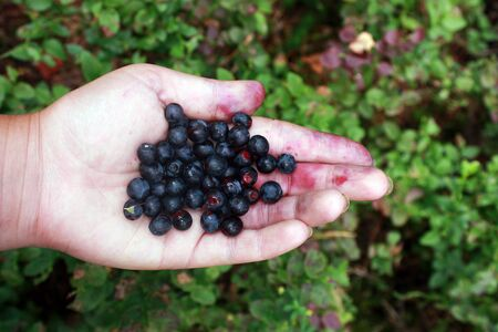 Blueberries in hand, a handful of berries on palm. Bushes with berries