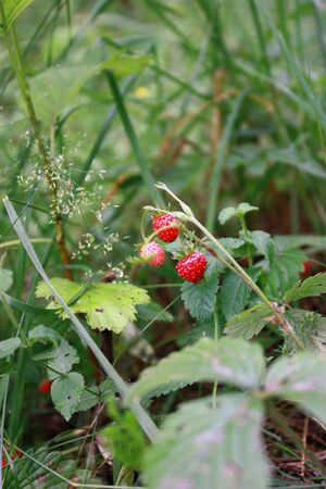 Strawberry timber, red wild berry in the bush Stock Photo