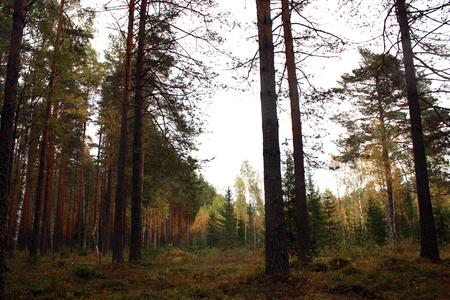 copse: Autumn forest. Autumn trees birch, pine and spruce