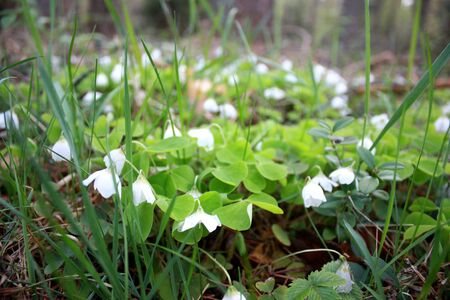 oxalis: Oxalis acetosella, Spring flower forest glade with small white buds