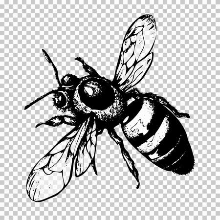 Bee hand drawing, black sketch insect on a transparent background. Vector illustration. Ilustrace