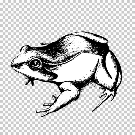 Frog hand drawing, black sketch animal on a transparent background. Vector illustration Ilustração
